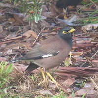 The pest Indian myna in the wild