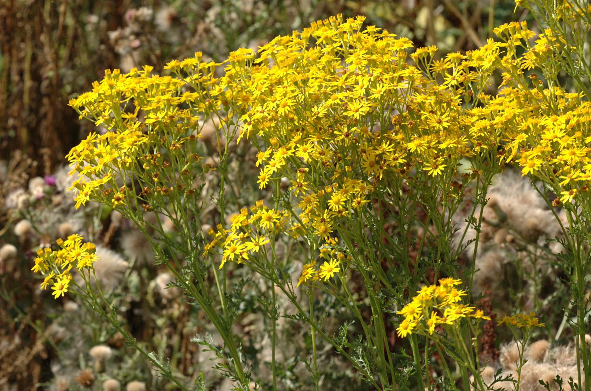 A photo of ragwort, which has bright yellow flowers and long green stems.